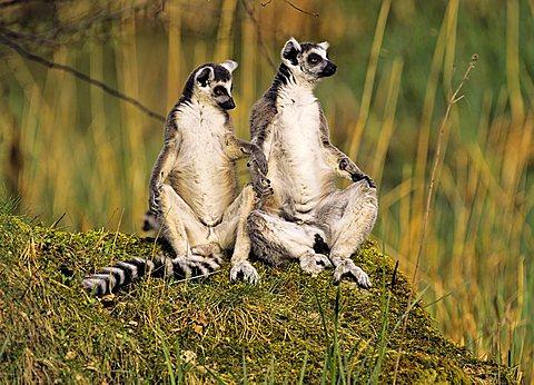 Ring-tailed Lemurs (Lemur catta) shaking paws