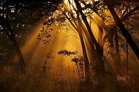 Sunbeams shining through a Teak (Tectona) grove, Hwange National Park, Zimbabwe, Africa