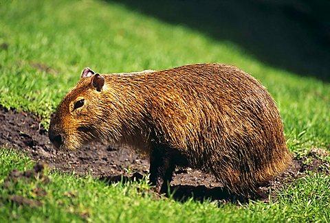Capybara (Hydrochoerus hydrochaeris), Detroit Zoo, Detroit, Michigan, USA
