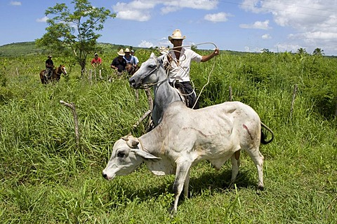Cuban horse riders catching an escaped ox with a lasso in a plantation, Cuba, Latin America