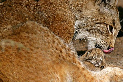 Lynx (Lynx lynx), mother licking her newborn kitten or cub clean, Bavaria, Germany, Europe