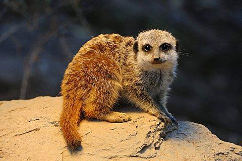Meerkat (Suricata Suricatta), young