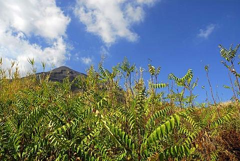 Vegetation on Stromboli Island, Stromboli volcano, Aeolian or Lipari Islands, Sicily, South Italy, Italy, Europe