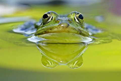Water Frog (Rana esculenta), Baden-Wuerttemberg, Germany, Europe - 832-26202