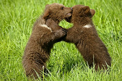 Brown Bears (Ursus arctos), two cubs playing with each other and fighting, standing on their back legs, embracing