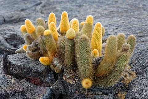 Lava cactus, (Brachycereus nesioticus), growing out of crack in lava rock, Fernandina, Punta Espinosa, island, Galapagos archipelago, Unesco World Heritage Site, Ecuador, South America, Pacific