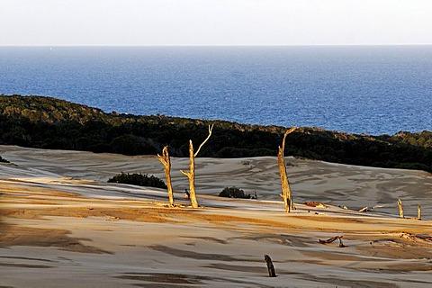 Dead trees in sand dunes on Fraser Island, Queensland, Australia