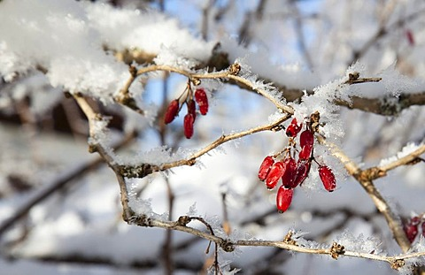Barberry bush (Berberis) with frozen fruits, covered with frost