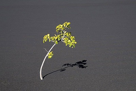 Single tree on volcanic ash, Pico de Fogo Volcano, Fogo Island, Cape Verde Islands, Africa