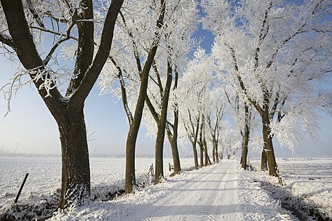 Road through Blockland landscape conservation area in the winter with hoarfrosted trees, Bremen, Germany, Europe