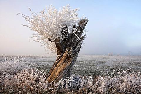 Hoarfrosted pollarded willow, Naturschutzgebiet Wuemmewiesen nature reserve, Bremen, Germany, Europe