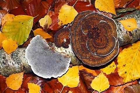Turkey Tail (Trametes versicolor), funghi on a dead birch tree branch in autumn
