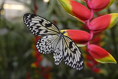 Paper Kite or the Rice Paper Butterfly (Idea leuconoe) resting on a Hanging Lobster Claw (Heliconia rostrata)