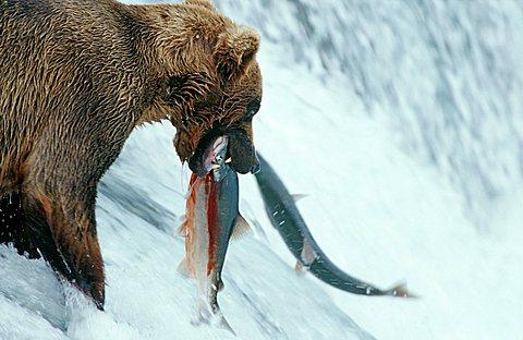 Brown bear (Ursus arctos) catching salmons at a waterfall, Katmai National Park, Alaska