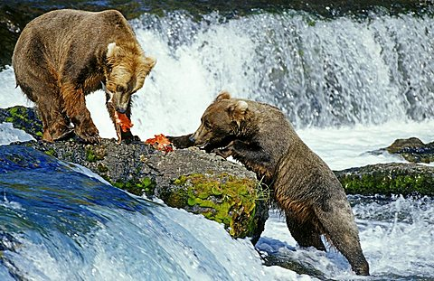 Brown bears (Ursus arctos) feeding salmons, Katmai National Park, Alaska