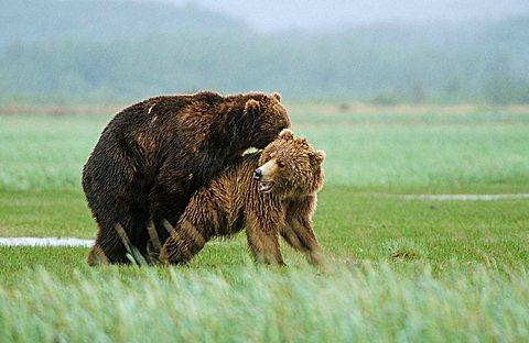 Brown bears (Ursus arctos) pairing, Katmai N.P., Alaska