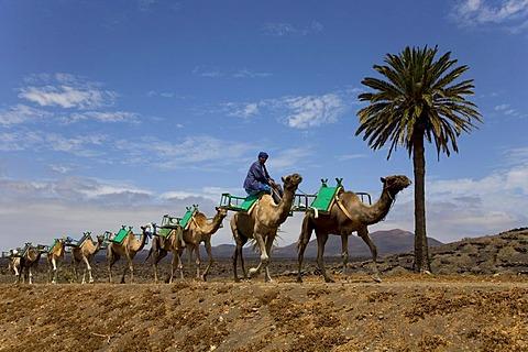 Dromedary camel caravan on the way to Uga, Lanzarote, Canary Islands, Spain, Europe