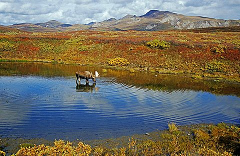 moose (Alces alces) standing in a pond in the wide landscape, foraging, Denali N.P., Alaska, America