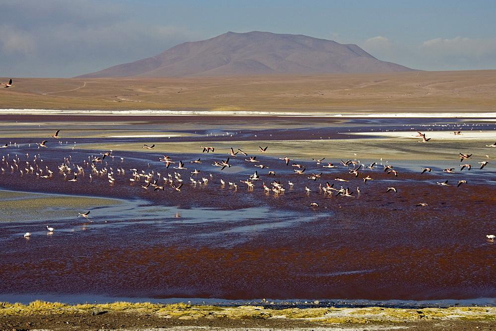 Flamingos (Phoenicoparrus) at lagoon Laguna Colorada, Altiplano, Bolivia, South America