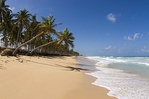 Beach with white sand and Coconut Palms (Cocos nucifera), Punta Cana, Dominican Republic, Central America