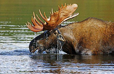 Moose or Elk (Alces alces) standing in water, Denali National Park, Alaska, USA