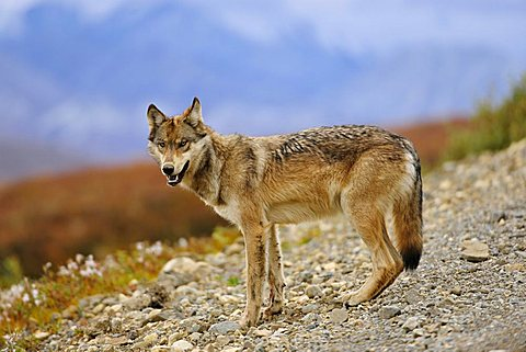 Wolf (Canis lupus) looking for food along the road, Denali National Park, Alaska