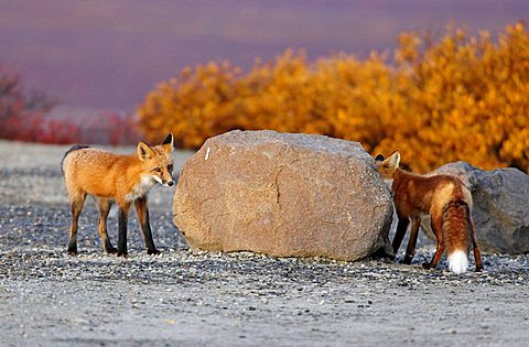 Foxes (Vulpes vulpes) circling a stone to hide themselves from each other, Denali National Park, Alaska, USA