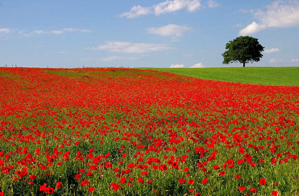 Poppy field, Southern Palatinate, Rhineland-Palatinate, Germany, Europe