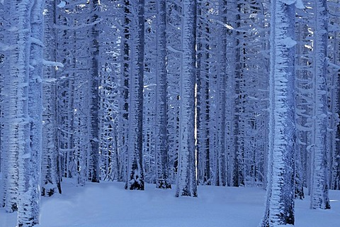 Snow covered trees in the Harz, Saxony-Anhalt, Germany