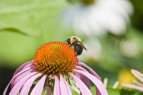 Bee pollinating Echinacea flower (Echinacea)