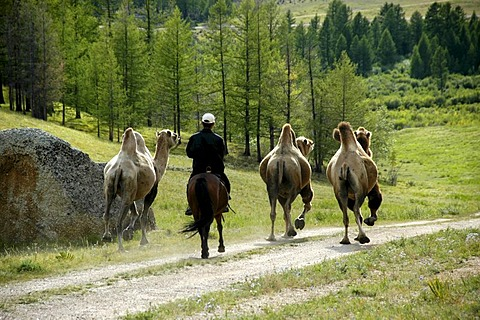 Three camels and a rider on a horse in the forest Terelj National Park Mongolia