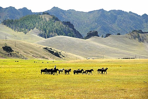 Herde of horses in wide open landscape with grassland and mountains Terelj National Park Mongolia