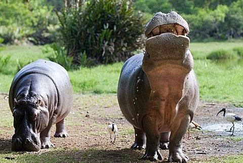 Hippopotamuses (Hippopotamus amphibius) in Haller Park in Mombasa, Kenya, Africa