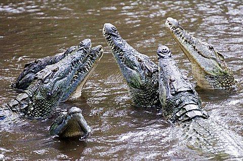 Crocodiles (Crocodilia) in Haller Park in Mombasa, Kenya, Africa