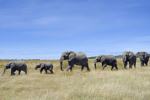 Elephant (Loxodonta africana) herd walking in a single file, Ndutu, Ngorongoro, Tanzania, Africa
