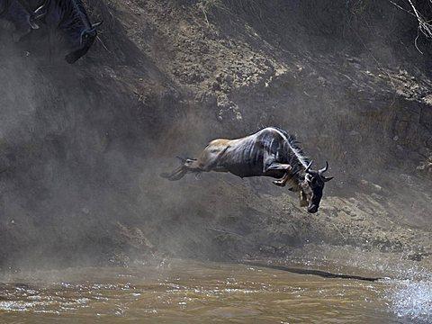 Gnu, Blue Wildebeest (Connochaetes taurinus), gnu migration, gnu jumping into the Mara River, Masai Mara, Kenya