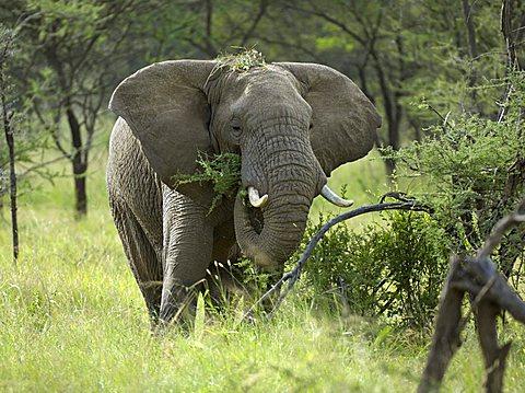 African Bush Elephant (Loxodonta africana), eating bush, Western Corridor, Serengeti, Tanzania