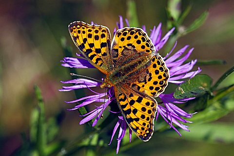 Queen of Spain Fritillary (Issoria lathonia) sitting on a flowering Brown Knapweed, Brownray Knapweed (Centaurea jacea)