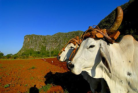 Bulls (Bovidae) used to plough a field in Pinar del Río, Cuba, Caribbean, Americas
