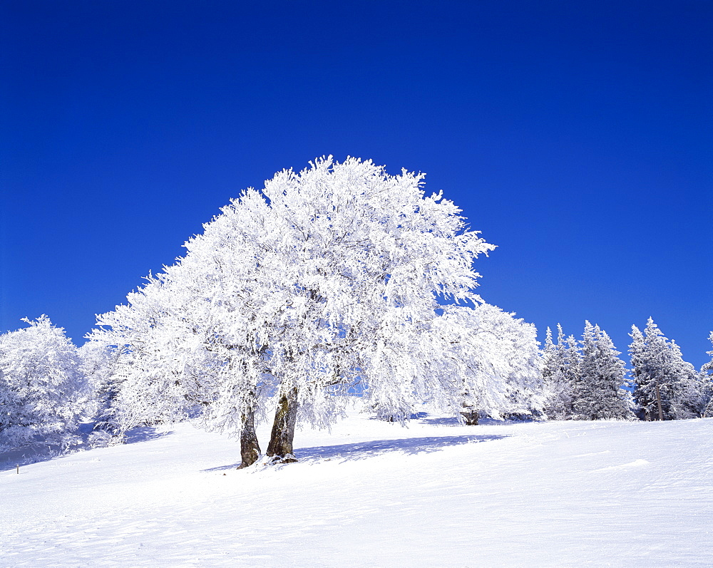 Snow-covered beech tree (Fagus sylvatica), Mt. Schauinsland, southern Black Forest, Baden-Wuerttemberg, Germany, Europe