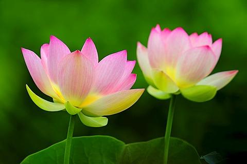 Pink Lotus (Nelumbo) flowers