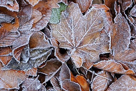 Beech, maple leaves, frosted