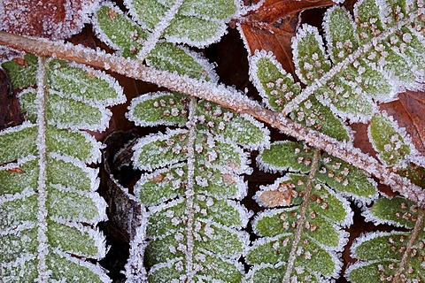 Common Polypody (Polypodium vulgare), frosted