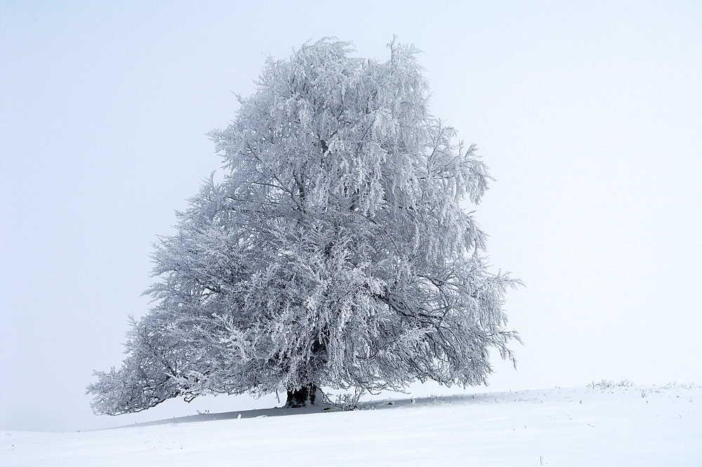 European Beech (Fagus sylvatica), with hoarfrost