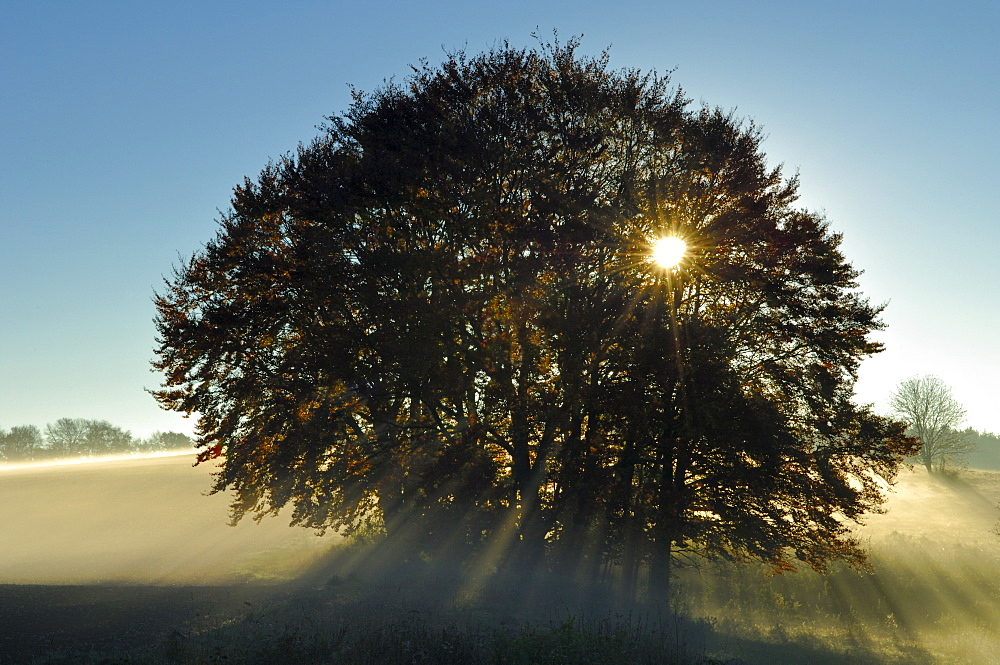 Grove of Common Beeches (Fagus sylvatica) at sunrise, with morning fog