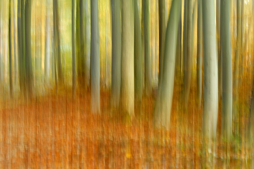 Common Beech (Fagus sylvatica) beech groove, blurred