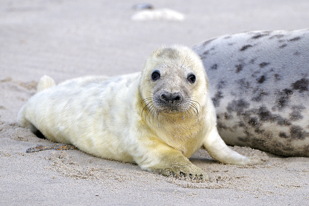 Grey Seal (Halichoerus grypus), newborn