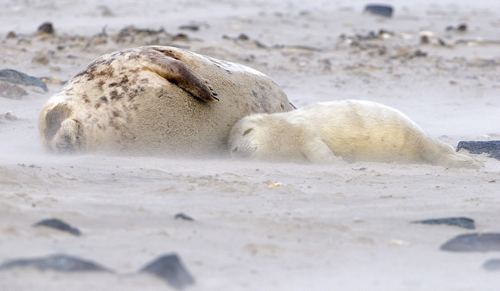 Grey Seal (Halichoerus grypus), female and young in sandstorm