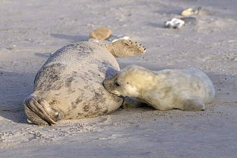 Grey Seal (Halichoerus grypus), female and young suckling