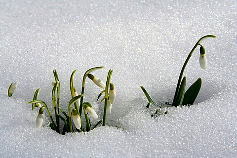 Snow drops blooming amongst snow in Bavaria Germany - 832-285232